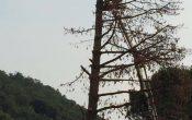 pino longone-abbattuto-2016